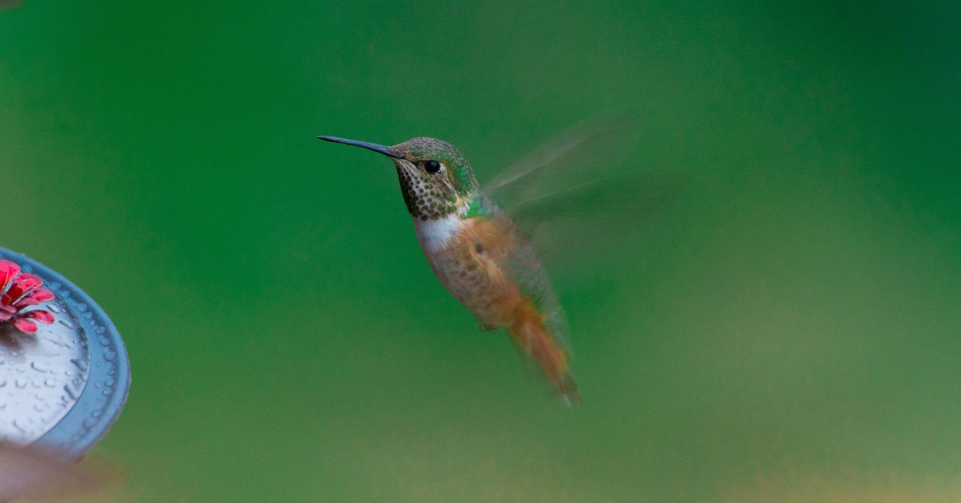 idahos hummingbirds